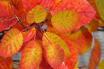 Golden Spirit Smoke Bush