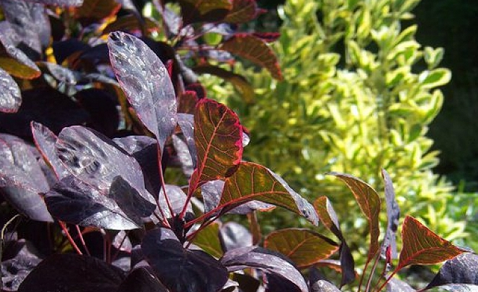 The contrast between Cotinus (smoke bush) and a variegated Euonymus japonica.