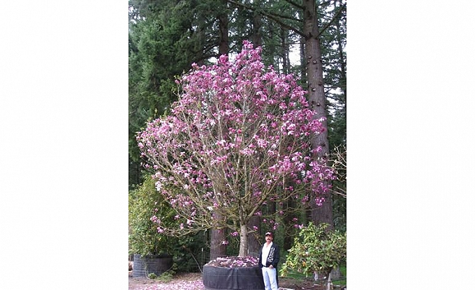 We searched high and low for a large specimen, finally selecting this large Saucer magnolia. What could be more appropriate than a magnolia in Magnolia.