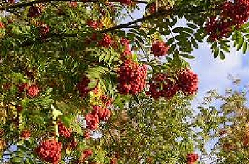 Sorbus (Mountain ash)