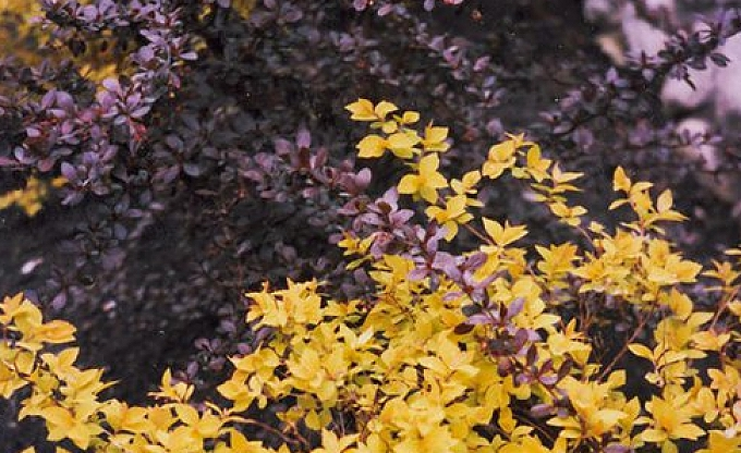Golden barberry contrasts 'Rose glow' barberry.