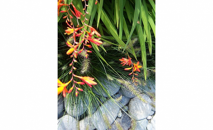 Crocosmia set against Pennisetum.