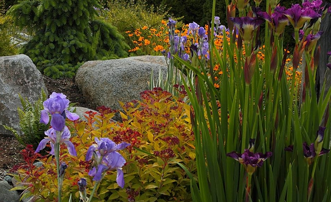 Spiraea and iris. Photo by Joey B.