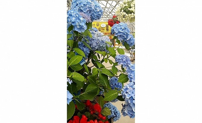 A lot of new hydrangea varieties at the nursery...Including 'Endless summer' and the fabulous new dwarf 'Pistachio'...