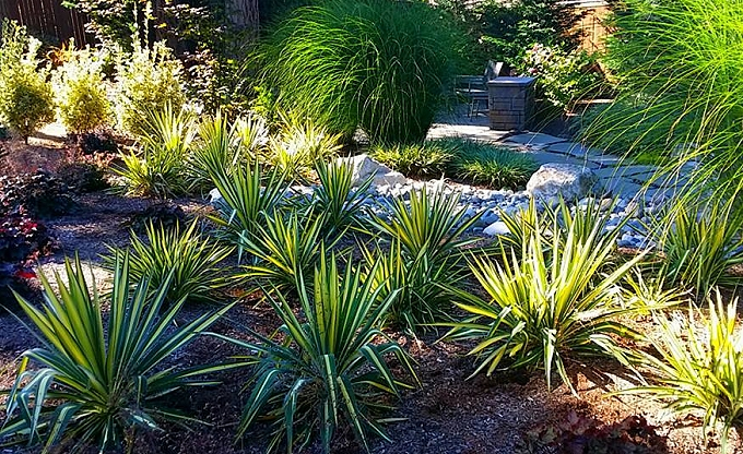 Variegated Yucca speaks to the Austin, Texas background of our clients and were successfully consolidated and transplanted from the original landscape...